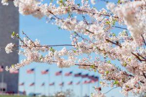 أزهار الكرز في واشنطن
