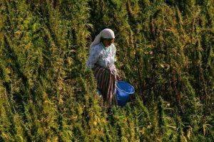 زراعة القنب الهندي في المغرب